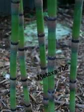 Prêle    7 jeune tiges racines , Equisetum hyemale plante bassin
