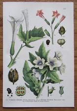 Botanischer Druck - Pflanzen Botanik Druck Atlas des Pflanzenreichs ca. 1920 111