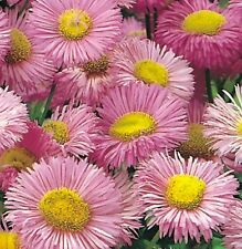 Erigeron 'Pink Jewel' / Erigeron speciosus / Fleabane / 200 Seeds