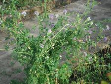 ALFALFA 'Sequel' 500 seeds Green Manure (Lucerne) flower garden