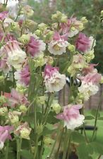 30+ Aquilegia Pink Petticoat Flower Seeds / Columbine / Perennial