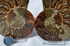 "1360 Fossil PAIR Ammonite w/ Crystals LARGE 3.9"" 110myo 100mm FREE USA SHIPPING"
