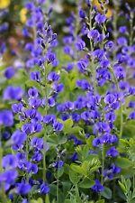 50 BLUE WILD FALSE INDIGO Baptisia Flower Seeds *CombSH
