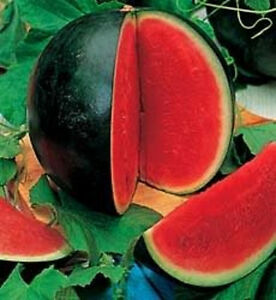 100 SUGAR BABY WATERMELON Citrullus Lanatus Sweet Red Fruit Melon Vine Seeds