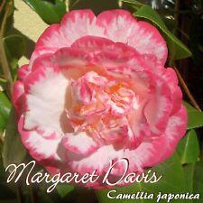 """Kamelie """"Margaret Davis"""" - Camellia japonica - 5-jährige Pflanze"""