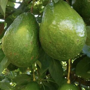 GRAFTED AVOCADO LIVE TREE (SEMIL34) LARGE SIZE TREE