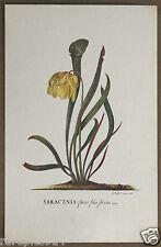 G D Ehret Saracenia Flava Linneaeus Vintage Floral Lithograph