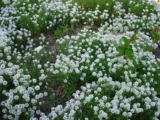 alyssum, sweet white flower, FRAGRANT, 260 seeds! GroCo*