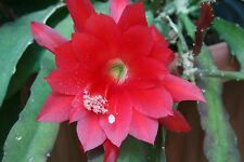"(1) Epiphyllum ~ CUTTING~ Orchid Cactus Succulent ~Red~ 8"" Long"