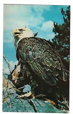AMERICAN BALD EAGLE National Emblem of the United States Bird Prey MI Postcard