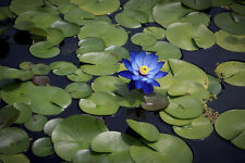Liveseeds - Mini Sapphire Bonsai Lotus/ Water Lily Flower /5 Fresh Seeds