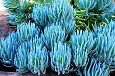 Senecio mandraliscae Blue chalk sticks (Senecio Serpens) x 3 cuttings Drought ok