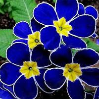 100pcs Blue Evening Primrose Seeds Home Garden Plants Flower Decor Easy to Plant