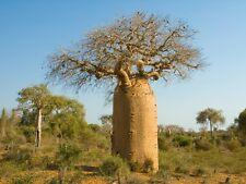 """5 Samen Seeds """"  Adansonia  """" Baobab  Affenbrot Affenbrotbaum"""