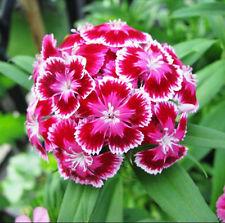 50 Pink Dianthus Seeds Dianthus Barbatus Ornamental Garden Flowers