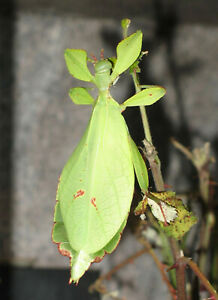 10 x Leaf Insect Eggs