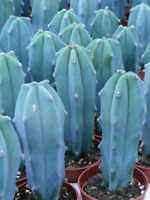 "Myrtillocactus geometrizans ""Blue Candle"" Seeds"