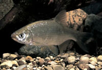 Live Shiner Minnows 3''- 4'' 25+(FAST SHIPPING GUARANTEED ALIVE)