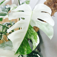 HB- 100 Seeds White Monstera Palm Turtle Leaves Seed Garden Plant Bonsai Home De