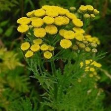 Tansy 200 plus seeds
