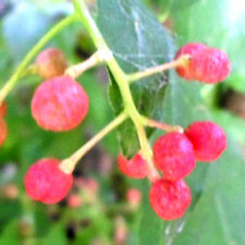 Rosa Pfeffer (Schinus terebinthifolius) 10 Samen, rosa Beeren, sehr delikat