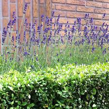 10 Stück Lavendel angustifolia' Mundstead' düftende Pflanze,Winterhart