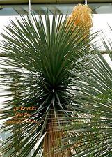 Yucca elata Palmlilie @ bildet Stämme @ winterhart -15°C @ Stammyucca @ 10 Samen