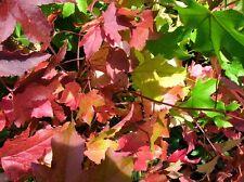 LIQUIDAMBAR Styraciflua Tree Sweet Gum 6-7ft Potted Stunning Autumn Colours KENT