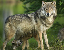 Gray Wolf and pup - 3D Postcard Lenticular Greeting Card