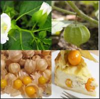200 Pcs Seeds Cape Gooseberry Physalis Peruviana Giant Poha Berry Ground NEW Z X