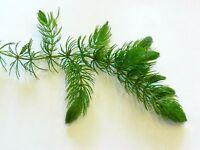 Ceratophyllum!Piante galleggianti !PIANTA PIANTE ACQUARIO LAGHETTO