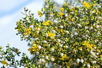 exotische Blüten Rarität Saatgut seltene Garten Balkon Pflanze CHAPARRAL