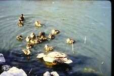 #8 35mm slide - Vintage - Collectibles -Photo - duck ducks water