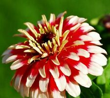Ice Queen Zinnia Seeds - Large Beautiful Blooms! Combined S/H See Our Store