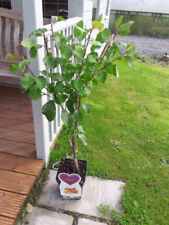 Summer Full Sun H5 (-15 to -10 ° C) Hardiness Fruit Plants