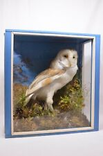 Barn Owl Taxidermy in wooden case