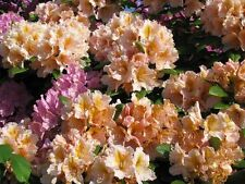 Rhododendron großblumige Hybride Lily Dance 30-40cm Frühlingsblüher