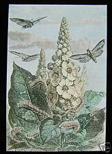 Glass Magic Lantern Slide MOTHS & CATAPILLARS AROUND A PLANT C1900 INSECT