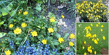 Yellow Coreopsis *Tequilla Sunrise* Perennial Flower 50 Seeds