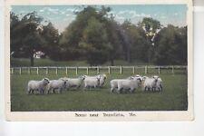 Sheep Scene near Benedicta  ME  525 027