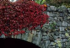 Boston Ivy vine 1-dormant Rooted Plant Cutting Brilliant orange-red fall color