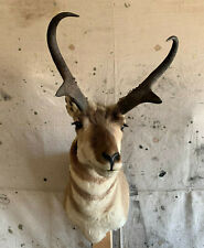 Pronghorn Antelope Shoulder Mount Taxidermy