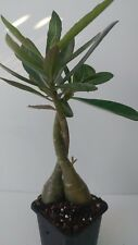 Desert rose plant, 2 Adeniums twisted stems , live succulents, gift idea