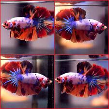 New listing Live Betta Fish Fancy Dragon Blue Dots Super Nemo Halfmoon Male #C119