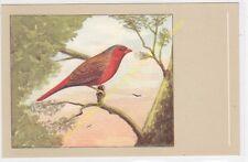 Oiseau Bird Diamant Pheaton Neochmia phaëton