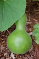100 Birdhouse Gourd Seeds Garden Seeds BULK SEEDS
