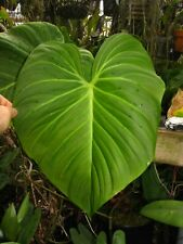 Philodendron Sp. El Choco Red, Velvety Leaf, Red Back, Fantastic Aroid Plant!