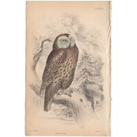 Jardine/Lizars antique hand-colored engraving bird print Pl 28 Tawny Owl