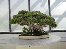 """10 SEMI Seeds FICUS Benghalensis """"Indian Banyan""""<"""