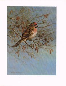 Lesser Redpoll Bird Print Old Picture Vintage Raymond Watson 1986 SB#65